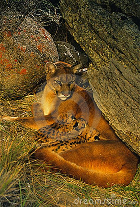mountain lion family  den royalty  stock images