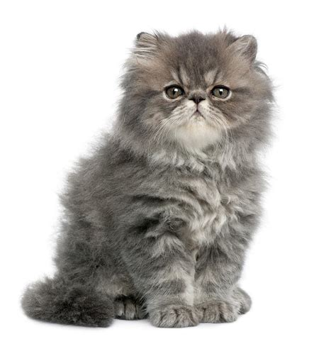 Persian Kitten Photograph By Life On White