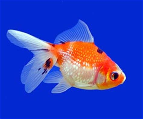 pet fish facts pictures  information