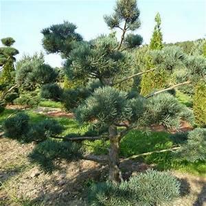 baume kaufen pflanzen formgeh lze gempp gartendesign With whirlpool garten mit pinus sylvestris bonsai kaufen