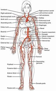 This Diagrams Shows The Major Arteries In The Human Body