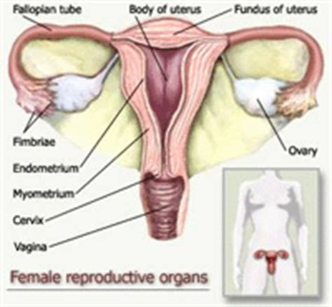 Organ Rahim Wanita Female Reproductive System Of Eggs In The Female Body