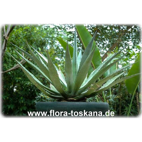 Pflanzen Portraet Agave by Agave Parryi Parrys Agave Mescal Agave Flora Toskana
