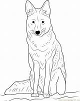 Coyote Sitting Coloring Drawing Pages Head Howling Getdrawings Coloringpages101 sketch template