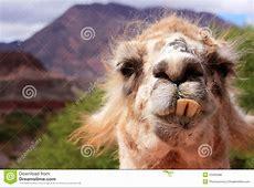 Funny llama stock photo Image of teeth, face, nose