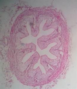 Ureter And Urinary Bladder  U2013 Howmed