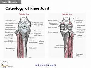Osteology Of Knee Joint