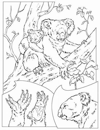 Coloring Pages Koala Wildlife Adult National Koalas
