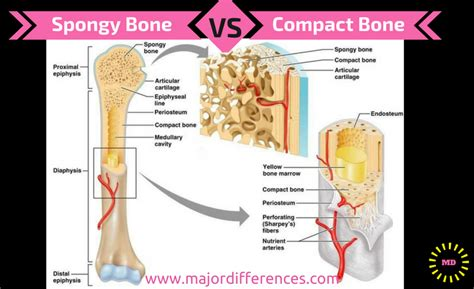 Difference Between Compact Bone And Spongy Bone