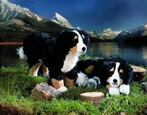 Berner Sennenhund Gewicht : berner sennenhund senta liegend k sener spielzeug manufaktur gmbh ~ Markanthonyermac.com Haus und Dekorationen