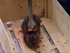 Comment Tuer Un Rat : pieger un rat taupier sur la france ~ Mglfilm.com Idées de Décoration