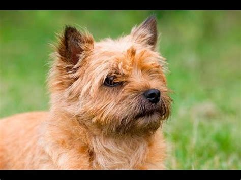 Mercana Decor Inc Surrey Bc by 100 Cairn Terrier Non Shedding Small Dogs 100 Cairn