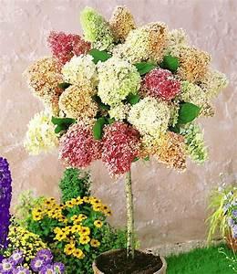 Winterharte Blumen Für Kübel : hortensien st mmchen 39 grandiflora 39 pflanzen hortensien winterharte blumen und pflanzen ~ A.2002-acura-tl-radio.info Haus und Dekorationen