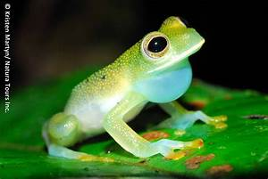 Some pictures of the beautiful Glass Frog. (Pics) (Neat ...