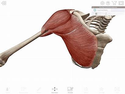 Muscle Shoulder Adduction Human Anatomy 3d Gifs