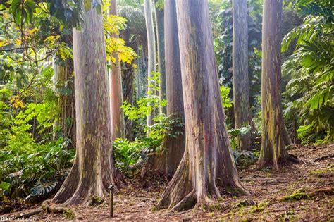 Maui Plant of the Month: Eucalyptus   Bike Maui