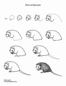 Opossum Drawing Lesson