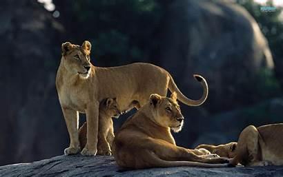 Lions Lion Wallpapers Desktop Week Safaris Tailor