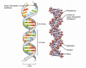 Discovery Of Dna Double Helix  Watson And Crick