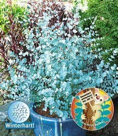 Gartensträucher Blühend Winterhart : die 22 besten bilder von immergr ne str ucher garden plants backyard landscaping und backyard ~ Orissabook.com Haus und Dekorationen
