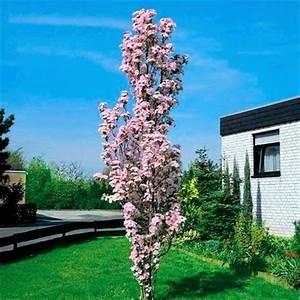 Säulen Pflanzen Winterhart : japanische s ulenkirsche von g rtner p tschke auf kaufen ~ Frokenaadalensverden.com Haus und Dekorationen