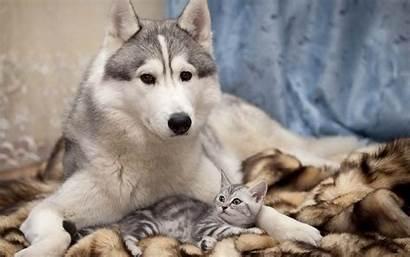 Husky Siberian Wallpapers