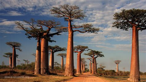 baobab alley morondava sold  getty images customers