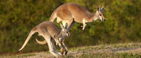 cuisine bebe 18 mois un nouveau né kangourou est de la taille d un haricot