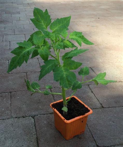 comment planter des tomates en pot planter des tomates quand et comment faire la plantation des tomates planters comment et