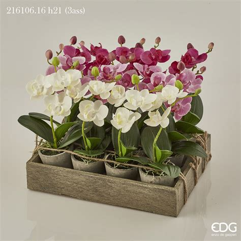vaso per orchidea phalaenopsis vaso per orchidea phalaenopsis 28 images phalaenopsis