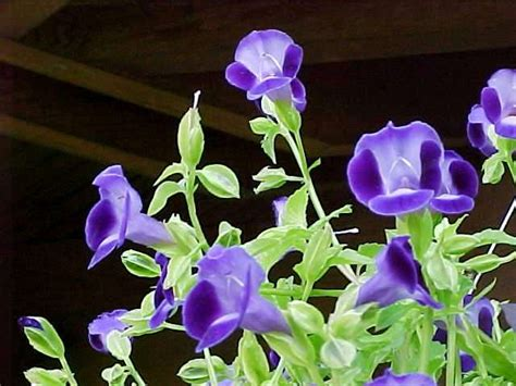 annual shade flowers ten best annuals for shade