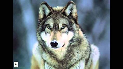 hurlement d un loup le cri du loup wolf howling ululato lupo wolf howl