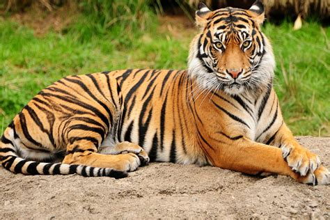tiger hd wallpaper  images