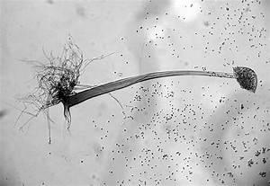 Rhizoids And Sporangium Containing Sporangiospores Of