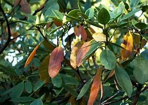 Braune Blätter Am Rhododendron : phytophthora pilz rhododendronwelke ~ Lizthompson.info Haus und Dekorationen