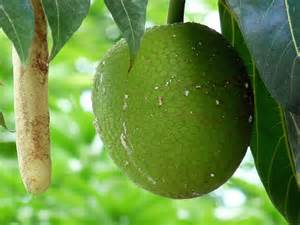 Barbados Bread Fruit