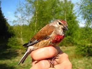 Vogel Mit Roter Brust : makol gwa zwyczajna wikipedia wolna encyklopedia ~ Eleganceandgraceweddings.com Haus und Dekorationen