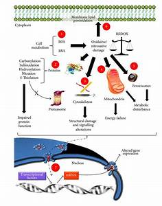Cellular Dysfunctions In Aging Or In Age