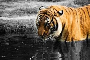 tigers | Science Buzz