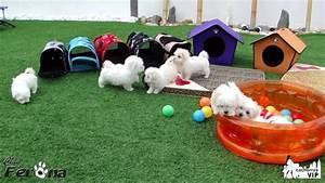 Cachorros de Bichón Maltés jugando. http://www.clanferona ...