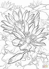 Coloring Bitterroot Pages Flower Columbine Drawing Printable Sheets Flowers Montana Adult Supercoloring Rose Template State Floral Sketches Prairie Wild Sketch sketch template