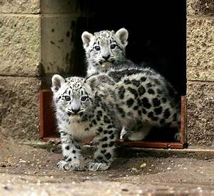 Baby snow leopards ready for company at Cape May County ...