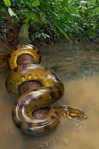 17 Best images about anaconda on Pinterest | Africa, About ...