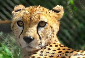 African Animal Cheetah
