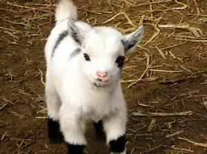 Pygmy Goat, So Cute   Animals   Pinterest   Goats, Pygmy ...