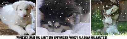 Adoption Malamute Alaskan Giant Puppies Malamutes Legends