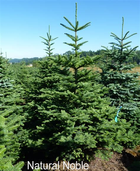 noble pine christmas tree christmas trees the plant foundry 1514