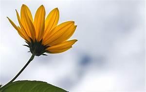 Nature minimalistic flowers sunflowers simple background ...