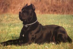 mastiff and chihuahua breeds picture