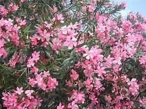 Oleandro Speciali coltivare oleandro fiori oleandro